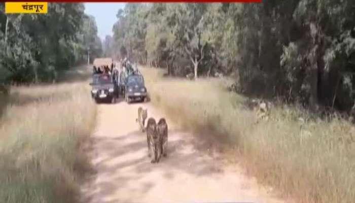 Chandrapur Tourist Stop Maya Tigress Way Video Viral On Social Media