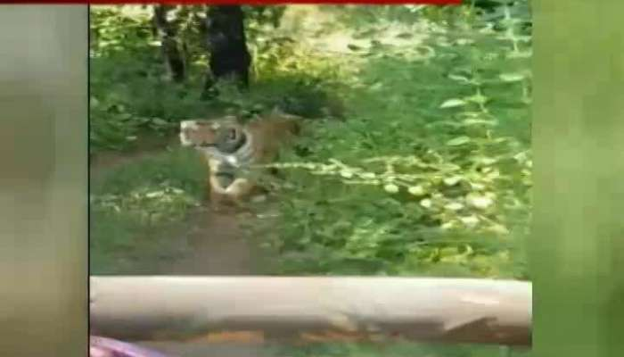 Tiger Chase Tourist Jeep In Jungle Video Get Viral